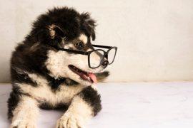 Οδηγός αγοράς Senior-Υπερήλικας (Σκύλος)