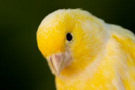 Οδηγός αγοράς Καναρίνια (Πουλιά)