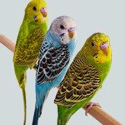 Οδηγός αγοράς Παπαγάλοι (Πουλιά)