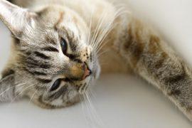 Οδηγός αγοράς Adult-Ενήλικας (Γάτα)