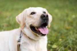 Οδηγός αγοράς Adult-Ενήλικας (Σκύλος)