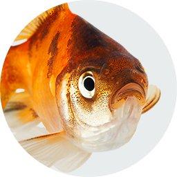 Οδηγός αγοράς Χρυσόψαρα (Ψάρια)