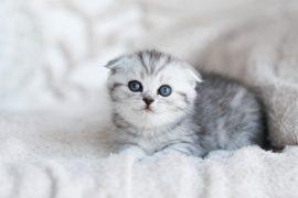 Οδηγός αγοράς Kitten-Μωρό (Γάτα)